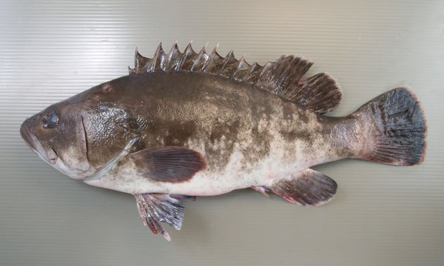 体長1.2kg、重さ50kgを超える。ハタ科では体高が低く、茶褐色の体色に濃い斜めに走る帯がある。この模様は大きくなるほどはっきりしなくなる。[養殖]