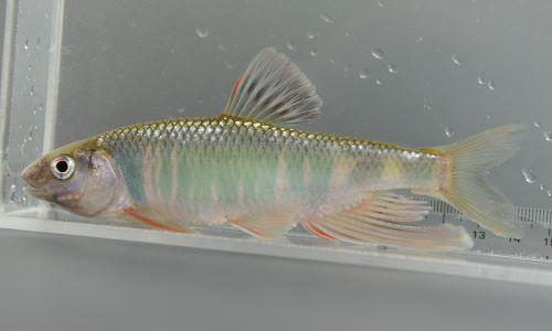 普段は銀色背は黒く地味だが生殖期に雄は鰭が大きくなり、青や赤に色づく。画像は産卵期の雄。