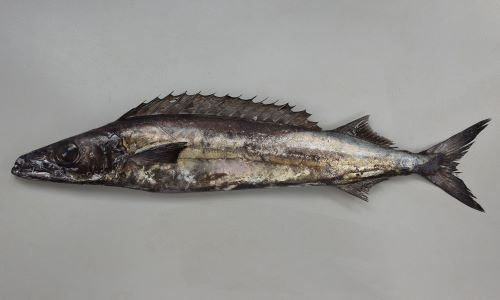 クロシビカマスの生物写真