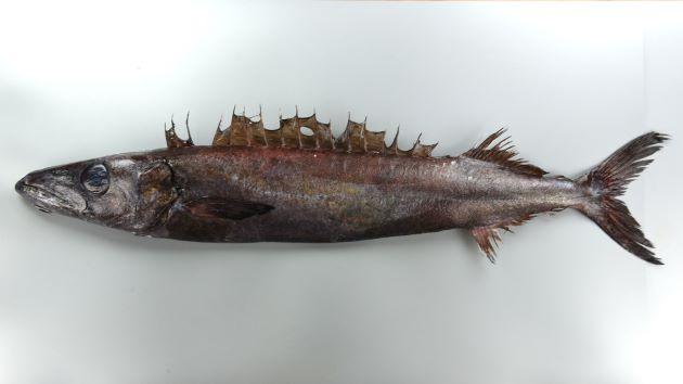80cm SL前後になる。身体はやや細長く左右に側へんする。全体に金属を思わせる黒紫色。腹鰭は退化的で1棘。口が大きく丈夫で非常に歯が針状で鋭い。