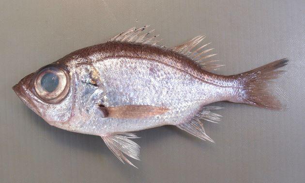 25cm前後になる。全体に銀灰色、非常に目が大きく、さわると鱗がザラザラする。体高があり、尻鰭は長く基部の幅よりも長い。