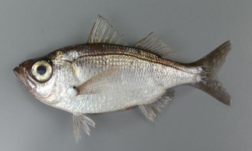 25cm前後になる。体高があり、形はフナを思わせる。背の部分は茶灰色、腹側は銀白色。尻鰭は短く、基部が長い。