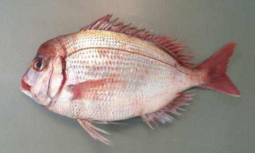 成魚は40センチほどになる。鰓ぶたの後ろが筋状に赤く血がにじんだように見える。尾鰭のいちばん後ろ側の縁が黒く縁取りされない。尾ビレは薄い赤色で後縁は黒くない。雄は大形になると頭部が張り出してくる。