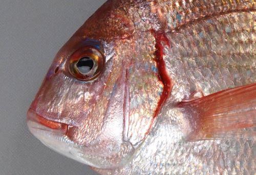 鰓ぶたの後ろが筋状に赤く血がにじんだように見える。これで「血鯛」と呼ばれる。