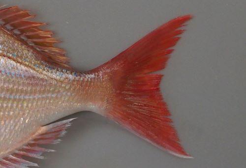 尾鰭のいちばん後ろ側の縁が黒く縁取りされない。マダイは後端が黒い。