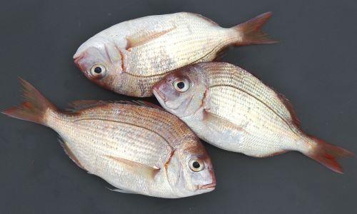幼魚は体長12-14cmほどを関東では「春日子(かすご)」という。また山口県などでは「しばだい」。