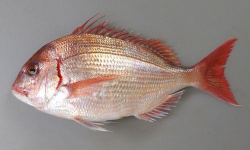 40cm SL前後になる。鰓ぶたの後ろが筋状に赤く血がにじんだように見える。尾鰭のいちばん後ろ側の縁が黒く縁取りされない。背鰭第3棘・4棘は少し糸状に伸びる。雄は大形になると頭部が張り出してくる。
