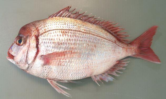 40cm SL前後になる。鰓ぶたの後ろが筋状に赤く血がにじんだように見える。尾鰭のいちばん後ろ側の縁が黒く縁取りされない。背鰭第3棘・4棘は少し糸状に伸びる。雄は大形になると頭部(おでこ)が張り出してくる。