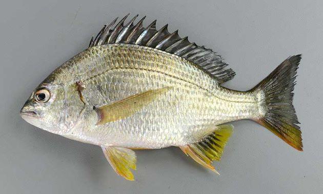 SL45cm前後になる。クロダイなどと比べ、全身から見て頭部が小さい。目は小さくやや前方にある。腹鰭、尻鰭、尾鰭が黄色い。背鰭棘条中央下の横列の鱗数は3.5。[SL21cm]