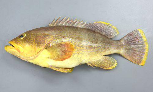 SL 42cm前後になる。ハタ科としては小型種。ずんぐりして、あまり側扁しない(左右に平たくない)。鰭の外縁が黄色く、体に黄色い斑紋が散らばる。うっすらと緑褐色の横帯が身体にあるが大きくなると薄くなる。[全長45.5cm]