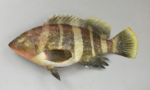 SL 42cm前後になる。ハタ科としては小型種。ずんぐりして、あまり側扁しない(左右に平たくない)。鰭の外縁が黄色く、体に黄色い斑紋が散らばる。うっすらと緑褐色の横帯が身体にあるが大きくなると薄くなる。[全長19cm]