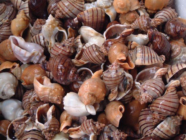 殻高50mm前後になる。ミクリガイ属のなかでももっとも大型。貝殻は光沢があり、厚く、螺塔(貝殻の先の部分)は小さく体層はよくふくらむ。貝殻に螺肋(筋模様)がほとんどない。褐色のの明瞭な帯があるもの、白一色で縞のないもの、茶色で縞のないものなど多彩。[千葉県産]