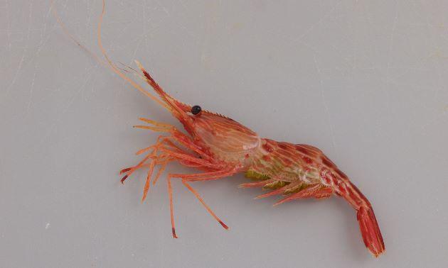 モロトゲアカエビの形態写真