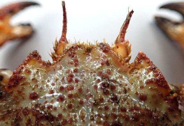 甲長8cmほどになる。甲には粒状の褐色の突起が散らばり、額角(目と目の間の棘)はほぼ同じ大きさ。