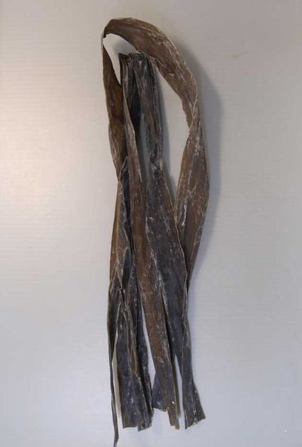 ナガコンブの形態写真
