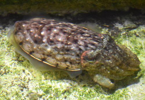 生きているとき外套背がざまざまな模様に変化、鰭の基部に白い線が出たり、明滅したり、消えたりする。