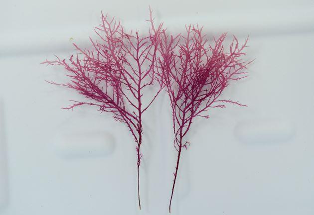高さ30cm前後になる。根は糸状で岩などの上をはう。全体はやや平面的で、無数に枝分かれして、細い。触った感じは柔らかい。