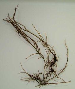 オゴノリのサムネイル写真