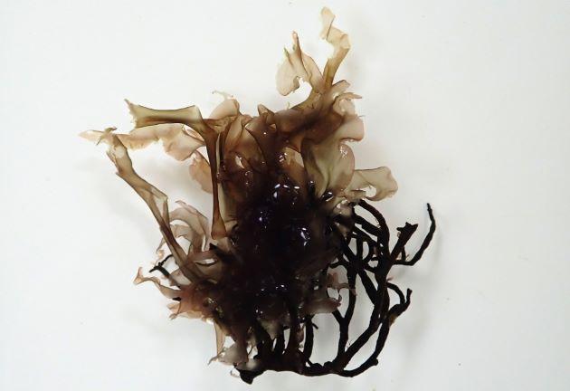 長さ20センチ前後になる。笹の葉状、もしくは卵状。
