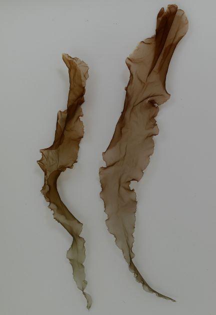 スサビノリの形態写真