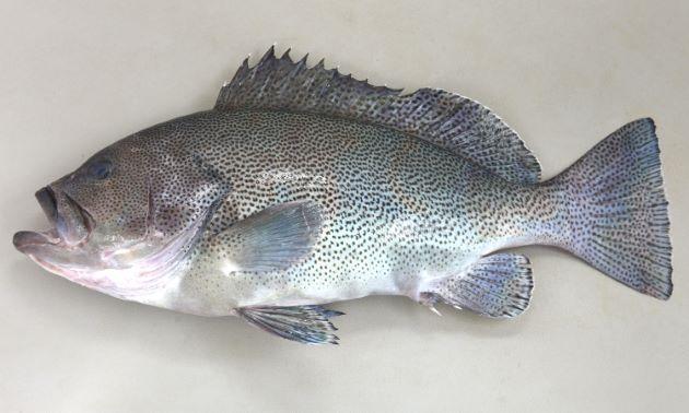 SL100cm前後になる。マハタ属のなかでは体高があり鯛型をしている。体側の斑紋は小さく散らばる。尾鰭は截形で、後縁が黒い個体がいる。