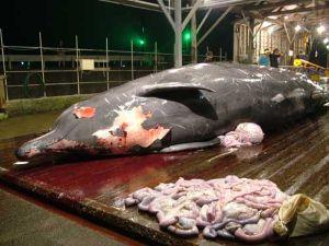 ツチクジラのサムネイル写真