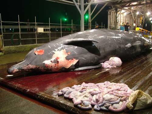 ツチクジラの形態写真