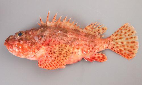 45cmほどになる。全体に赤く、濃く赤い斑文がある。涙骨の下縁(上唇の直ぐ上)にある刺が3本。胸ビレ下(腋)に皮弁(皮膚が旗状になったもの)がある
