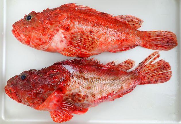 SL 45cmほどになる。全体に赤く、濃く赤い斑文がある。涙骨の下縁(上唇の直ぐ上)にある刺が3本。胸鰭腋部(腋)に皮弁(皮膚が旗状になったもの)がある