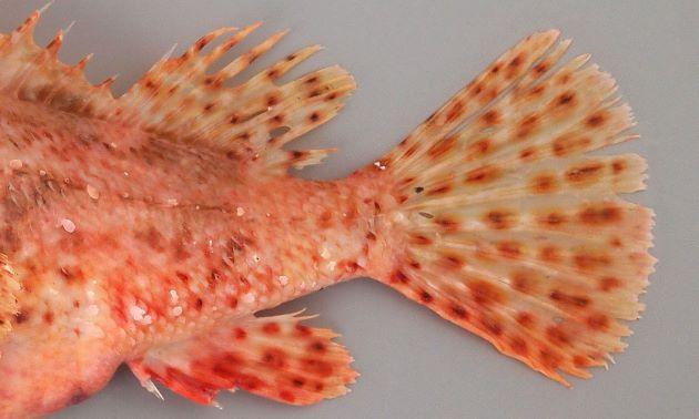 体側や鰭に褐色(赤みがかった)の斑紋が散らばっている。