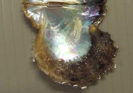 アコヤガイの貝殻内