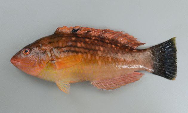 20cm前後になる。側扁(左右に平たい)する。黄土色もしくは緑がかった色合い、やや赤いのもある。ササノハベラ属2種は似ているが、目の下の黒っぽい褐色の筋がまっすぐに後方、もしくはほんの少し下方に曲がる。胸鰭(むなびれ)には遠く届かない。背などに斑紋がある。