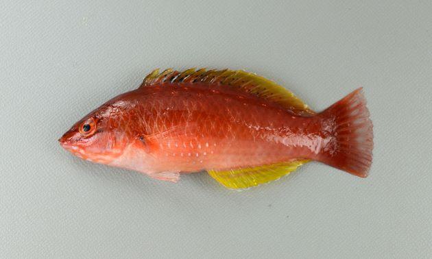 20cm前後になる。側扁(左右に平たい)する。黄土色もしくは緑がかった色合い、やや赤いのもある。ササノハベラ属2種は似ているが、目の下の黒っぽい褐色の筋がまっすぐに後方、もしくはほんの少し下方に曲がる。胸鰭(むなびれ)には遠く届かない。背などに斑紋がある。[写真は幼魚]