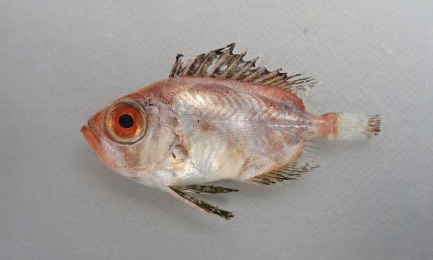 44cm SL 前後になる。全体に赤く、目が大きい。小さな櫛鱗(鱗の後方に棘を持っている)に覆われ、腹鰭、背鰭、尻鰭が長く大きい。[稚魚]
