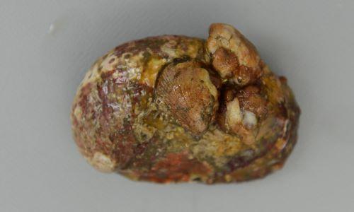 国産ものには、しばしば貝殻上にキクスズメがついている。