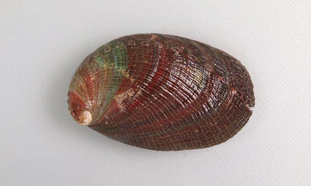 非常に螺肋、成長脈の強い台湾産の「ナガラメ型」。台湾産は基本的にこの「ナガラメ型」である。