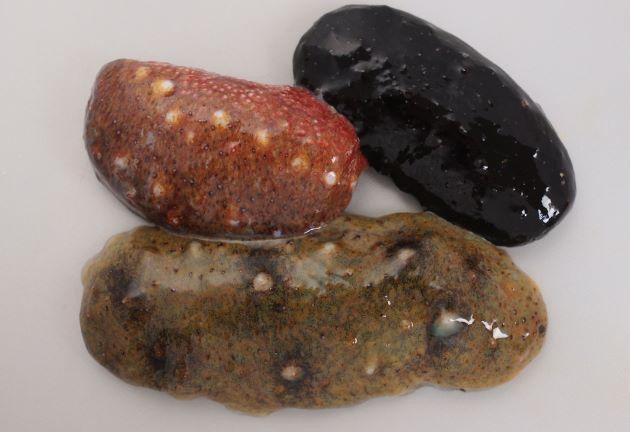 全長30cm×8cmくらいになるが、身体は縮んだり、伸びたりするので大きさがわかりづらい。黒、青など、体色は生息する場所によって変わる。覆面(下面)は総て赤。前方に口、後方に肛門がある。身体に縦に6列のイボイボがあり、内骨格は退化して、内側に痕跡的に残る。[赤いのがアカナマコ、黒と青みがかったものがマナマコ]