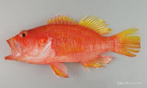 カスミサクラダイの生物写真
