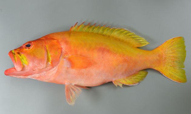 体長50cm前後になる。全体がレモンイエローと薄赤い色合いの部分がある。背鰭棘は8、腹鰭5軟条で腹部との間に膜状のものがある。