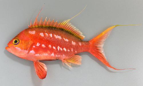 体長15cm前後になる。側扁(左右に平たい)し、尾鰭と、背鰭第3もしくは第4軟条が糸状に伸びる。体側に白い斑文が点在する。雄は赤味が強く、雌はオレンジ色。[雄]
