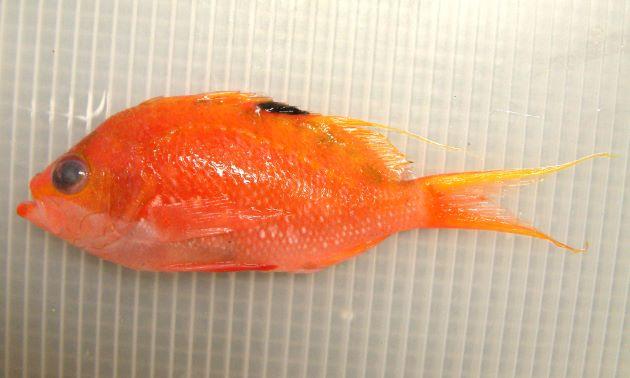 体長15cm前後になる。側扁(左右に平たい)し、尾鰭と、背鰭第3もしくは第4軟条が糸状に伸びる。体側に白い斑文が点在する。雄は赤味が強く、雌はオレンジ色。[雌]