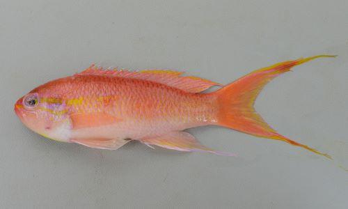 ヒメハナダイの生物写真