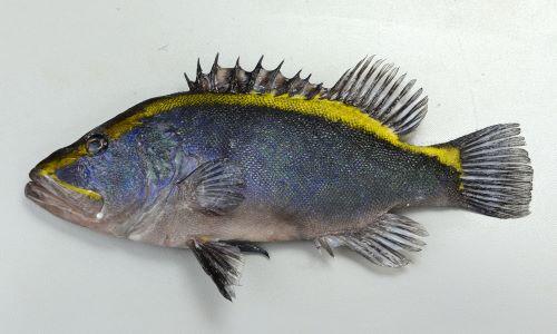 ルリハタの生物写真