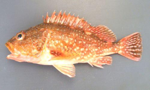 ウッカリカサゴの生物写真