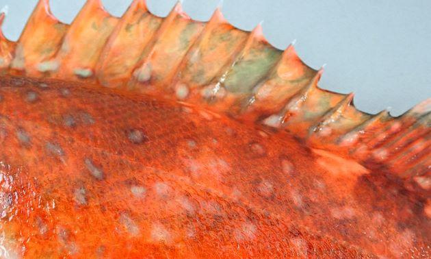 身体の側面一面(測線の上側にも)に円形の白い斑文がある。斑文には褐色(薄いものもある)の縁取りがある。