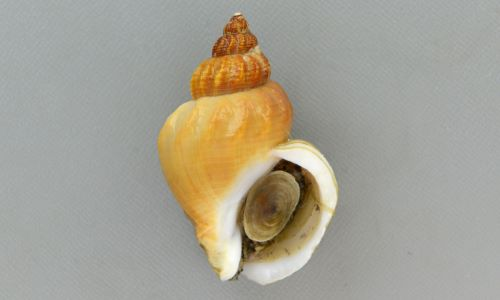 殻長5センチ前後になる。貝殻は厚みがあり、よくふくらむ。色合いは黒、灰色、白など多彩。螺層に渦巻き状の縦肋があり、こつごつしている。