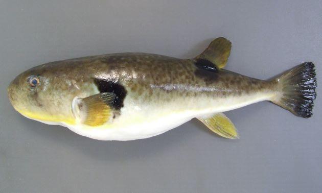 45cm前後になる。体表に棘がなくなめらか。ここからナメラフグの名がある。尻鰭は黄色みを帯びる。胸鰭後方に黒い斑紋がある。