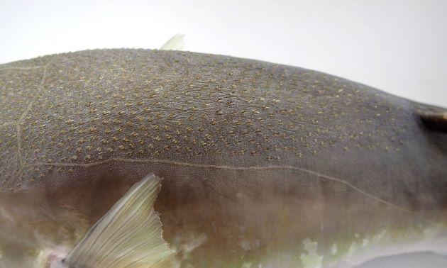 頭部から背にかけてある小さな棘は背鰭起部(背鰭の一番前端)近くまで続く。