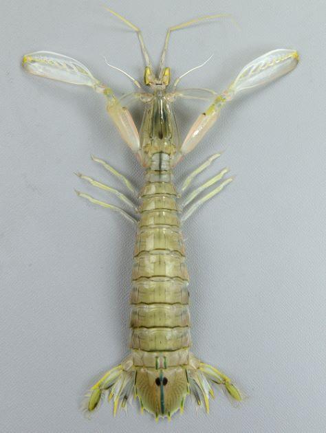 体長24cmを超える大型のシャコ。最後尾の節に青い帯が縦に走り褐色の丸い斑紋がある。