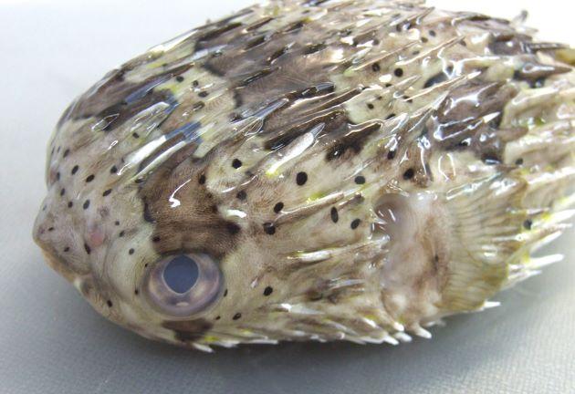 目と胸鰭の間に目立った楕円形の斑紋がない。